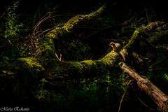 Hide and seek (MacaPDX) Tags: trees nature animal lightandshadows woods squirrel hiking wildlife hideandseek trail rbol lucesysombras refuge ardilla oaksbottomwildliferefuge
