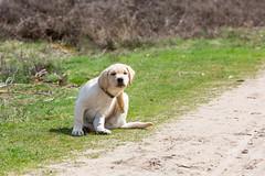 AP16-9582 Just an itch (Jan-Willem Adams) Tags: dog netherlands puppy labrador nederland buddy gelderland garderen honden fordjw janwillemadams adamsphotography