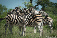 Tenderness (andreas.saladin) Tags: zebra sdafrika tenderness tag9 zrtlichkeit pretoriansavaia