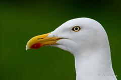 Herring Gull (a3aanw) Tags: landal meivakantie burghhaamstede