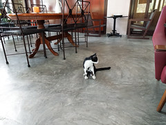 IMG_20160417_133857 (tatsuya.fukata) Tags: food animal cat thailand cafe bangkok th krungthepmahanakhon samutprakan steelroses