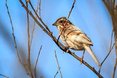 Leucistic Song Sparrow-5286G (Paul*Nelson) Tags: bird up michigan sparrow upperpeninsula wildbird leucistic michigansupperpeninsula
