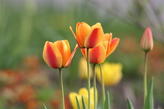 IMG_7810 (Five eyes) Tags: flowers flower holland color nature beauty garden spring dof tulips beds michigan fresh neighborhood beginning tuliptime promise lanes 2016