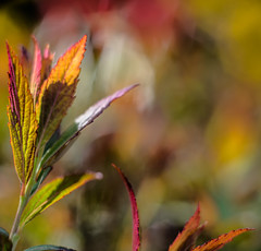 Like a Painting (*Capture the Moment*) Tags: red macro green rot leaves yellow bokeh pflanzen gelb grn bltter solitaire 2016 solitr farbdominanz sonya7ii leicasummiluxm1475 bokehleicalenses