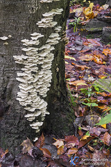 White Fungi on Tree (Kenneth Keifer) Tags: autumn white tree fall nature leaves forest woodland landscape woods october colorful science shelf fungi bark fungus trunk colony ourtddors