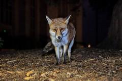 Male Dog Urban Fox (Vulpes vulpes), Bristol, Ian Wade (Disorganised Photographer - Ian Wade - Travel, Wil) Tags: city uk red portrait urban dog cute night canon bristol europe great fox foxes britian 5dmk11