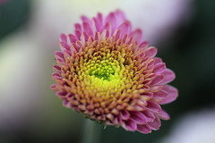 IMG_0781 (eve_manning) Tags: park flowers autumn newzealand auckland domain wintergardens