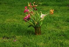 Abgeblhter Tulpenstrau (8) (Chironius) Tags: flower rot fleur blossom flor  fiore blte tulipa tulpen blten liliaceae  liliales  liliengewchse lilienartige lilioideae