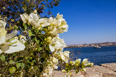 Flowers (cpt_ahmed93) Tags: flowers flower nature canon aswan whiteflowers canon600d