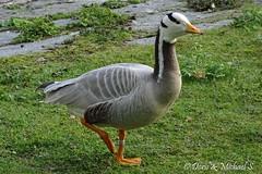 Streifengans / Bar-headed Goose (Doris & Michael S.) Tags: animals zoo tiere tiergarten