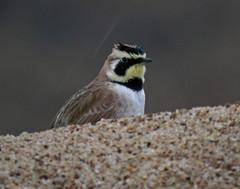 IMG_2263 (lbj.birds) Tags: bird nature wildlife kansas flinthills lark hornedlark