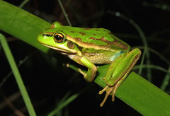Green and Golden Bell Frog (Litoria aurea) (Heleioporus) Tags: new green wales golden coast bell south frog aurea litoria