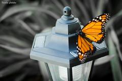 (NatyCeballos) Tags: blancoynegro butterfly blackwhite nikon farol mariposa naranja vuelo nikond7000