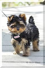 Little Cutie (Janner - Mike Slade) Tags: england dog male puppy devon yorkshireterrier newtonabbot littlecutie stovercountrypark sigma150500 nikond5200