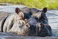 hippopotamus1 (hippopotamus amphibius) (Colin Pacitti) Tags: animal outdoor ngc npc wildanimal hippo hippopotamus hippopotamusamphibius coth fantasticwildlife coth5 hennysanimals sunrays5