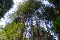 DSC_5148.jpg (Hip Like Junk) Tags: california redwoods ladybirdjohnsongrove