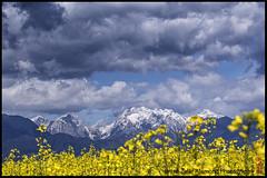 The Alps (alamond) Tags: sky panorama alps field yellow clouds landscape is 7d l usm ef mkii markii rapeseed 70300 brane llens f456 alamond zalar kamnikalps