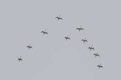 Spoonbill formation (Hans Makkee) Tags: birds vogels spoonbill lepelaar platalealeucorodia
