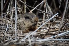 Woodchuck (the real Kam75) Tags: ontario grass sunshine spring bush warm wildlife woodchuck groundhog twigs