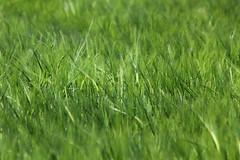 Aspettando il Raccolto (Pap_c) Tags: green grano campi cereali alimentazione