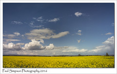 Lovely spring weather (Paul Simpson Photography) Tags: field sunshine weather spring bluesky lincolnshire lovelyday niceweather yellowfield beautifulweather yellowfields photosof imageof photoof farmviews imagesof sonya77 paulsimpsonphotography april2016 photosofniceweather