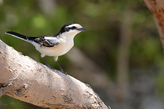 Masked Shrike @ Wadi Al Munaei Breaker, Ras Al Khaymah, UAE (Ma3eN) Tags: bird uae masked wadi shrike rasalkhaimah 2016 almunaei