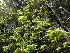 Acer pauciflorum W.P.Fang 1932 (SAPINDACEAE) (helicongus) Tags: spain acer sapindaceae jardnbotnicodeiturraran acerpauciflorum