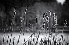 Reed Bed at Stover Country Park (Go placidly amidst the noise and haste...) Tags: southwest silhouette reeds bokeh devon reedbed stovercountrypark blackwhitepassionaward