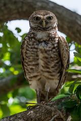 One piercing stare (Explored) (Fred Roe) Tags: nature birds wildlife birding raptor owl birdwatching birdwatcher athenecunicularia burrowingowl nikonafsteleconvertertc14eii nikond7100 nikkorafs80400mmf4556ged lca71c7375 brianpiccolosportspark