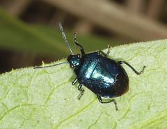 Blue Shieldbug - Zicrona caerulea (Prank F) Tags: blue macro nature closeup bug insect wildlife shieldbug wildlifetrust zicronacaerulea twywellhillsdales northantsuk