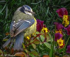 Landeplatz bunt, Stimmung mies. (Fotoamsel) Tags: tiere natur vgel garten frhling blaumeise imgarten