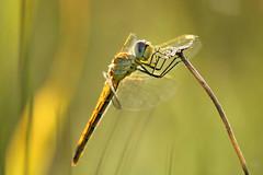 2015_IMG_2060 (niek haak) Tags: dragonflies dragonfly odonata libel sympetrumfonscolombii zwervendeheidelibel