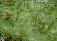 DSCF0759s (T Kato) Tags: fish japan pond shrine monet fujifilm carp gifu coloredcarp itadori xpro2 xf23mmf14r nemichishrine nemichi nemichijinja