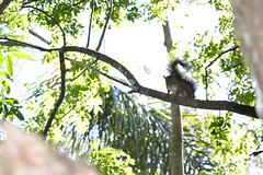 Parque Tangu - Curitiba PR (ddaminelli) Tags: park parque nature paran animals brasil photo nikon squirrel view natureza paisagem curitiba vista fotografia bichos animais esquilo sul cwb ctba tangu d3200