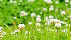 P5022145 (eriko_jpn) Tags: insect whiteflower bee clover wildflower