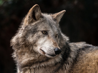 Grey Wolf (Canis lupus) - Reprocessed
