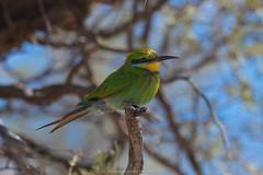 Little Bee-eater (TomasMazon) Tags: birds southafrica wildlife aves pajaros wilderness kalahari sanparks salvaje kgalagadi