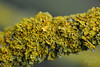 Different Scales (Explored) (Hare and Fox Photography) Tags: uk orange macro nature yellow countryside lichen hedgerow d300 nikond300