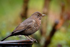 Mrs Blackbird (ABPhotosUK (Thanks for 600 followers)) Tags: birds animals canon garden wildlife devon nocrop blackbird chatsandthrushes eos7dmarkii