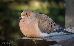 Mourning Dove (claudiaulrikegoodall) Tags: red