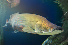 Pirarucu () (Bri_J) Tags: fish japan aquarium tokyo nikon ikebukuro   arapaima  arapaimagigas pirarucu sunshinecityaquarium  d7200