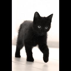 Morgana (NAIGO) Tags: canon occhi sguardo 7d gatto fra pelo gattino passi morgana gattonero naigo unadinoi gattoce