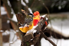 szncinege almaetetn / Great Tit on apple feeder (debreczeniemoke) Tags: winter bird garden greattit parusmajor kert tl paridae kohlmeise cinciallegra msangecharbonnire madr szncinege szncinke piigoimare cinegeflk olympusem5