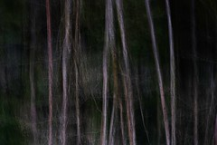 Fractured Forest (ICM) (Alvin Harp) Tags: trees abstract oregon forest january icm 2016 naturesbeauty intentionalcameramovement teamsony sonyilce7rm2 alvinharp canyonvile