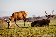 Reindeer at Beecraigs Country Park, Scotland