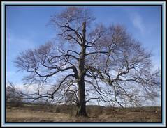 Big Beech (Margaret Edge the bee girl) Tags: park blue winter sky sun plant tree landscape outdoors bare branches beech fagus countyside shireoaks