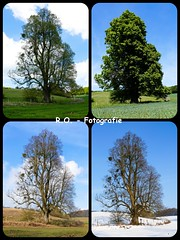 Die 4 Jahreszeiten / The 4 Seasons (R.O. - Fotografie) Tags: autumn winter summer tree nature collage landscape lumix spring seasons outdoor sommer 4 herbst jahreszeiten natur panasonic landschaft baum fz 1000 dmc frhling neuenheerse fz1000 dmcfz1000