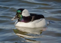 Bufflehead Drake (tresed47) Tags: birds us newjersey ducks content places bufflehead folder takenby 2016 peterscamera petersphotos canon7d ebforsythenwr 201602feb 20160202newjerseybirds
