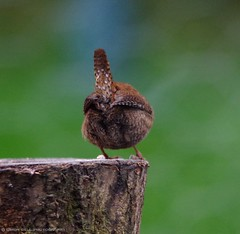 wren (7) (Simon Dell Photography) Tags: city wild brown cute bird simon nature up animal garden photography town flying wildlife sheffield tail small dell tiny wren