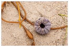 Sea urchin shell (mhocter) Tags: ocean california beach canon eos pacific shell malibu pacificocean canoneos ef seaurchin leocarillo losangelescounty leocarillobeach canonef leocarillostatepark ef247028l canonef247028l canoneos5dmarkii 5dmarkii 5d2 canon5dmarkii